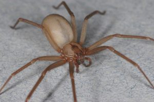 You Won't Believe What The World's Deadliest Spider Did To ... |Chilean Recluse