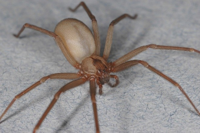 Chilean Recluse Spider Facts, Distribution, Bite, Pictures