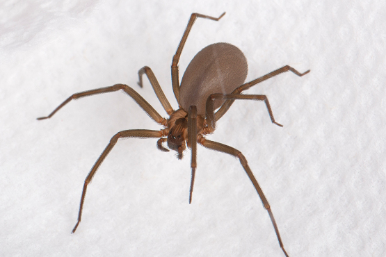 Top 10 Most Poisonous Spiders in The Whole World |Chilean Recluse