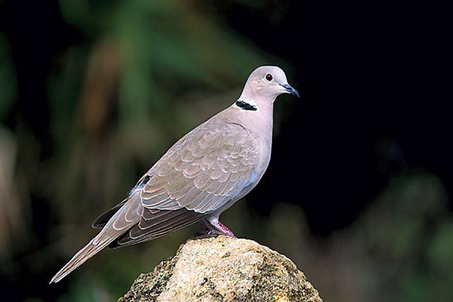 Eurasian collared dove facts range habitat diet pictures eurasian collared dove voltagebd Gallery