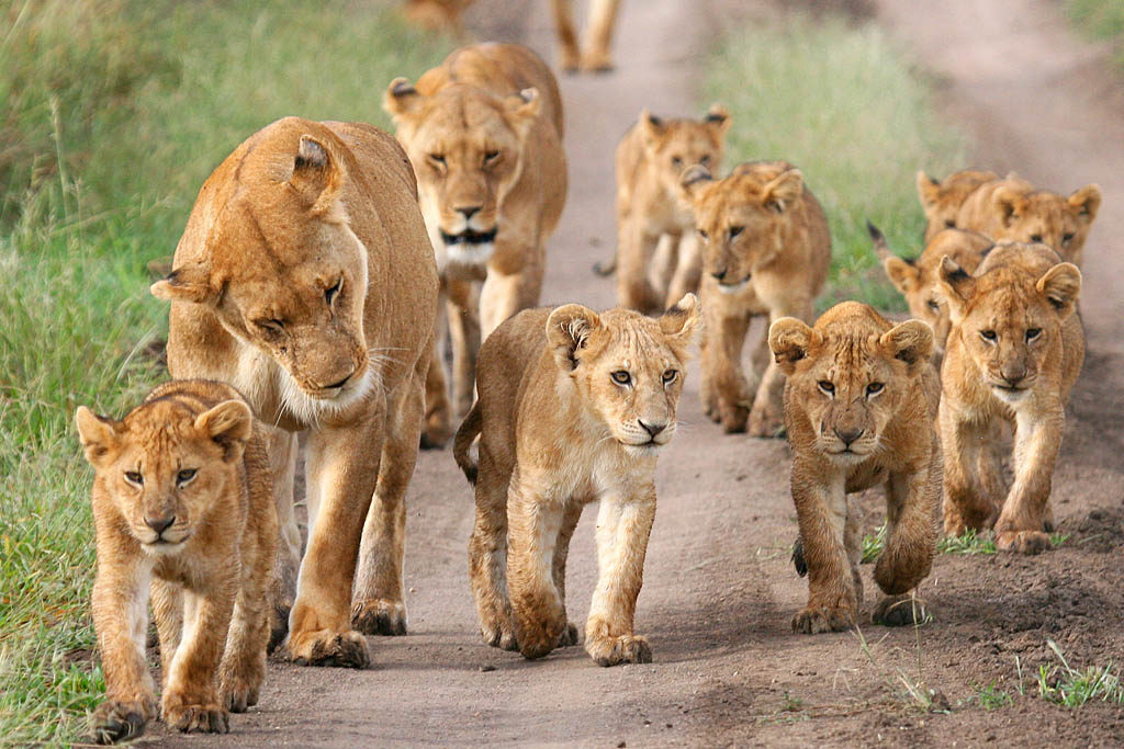 african animals south animal facts lions largest