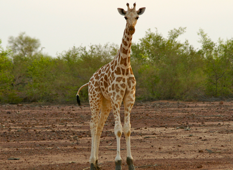 african animal list facts conservation status pictures