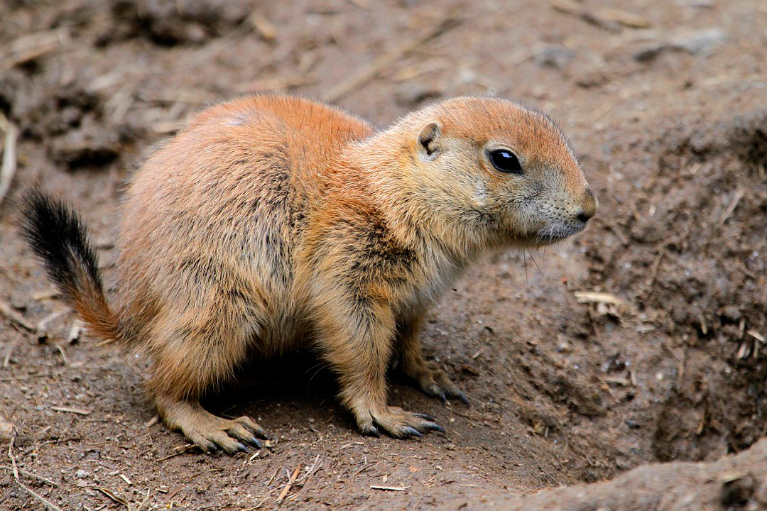 Black Tailed Prairie Dog Babies