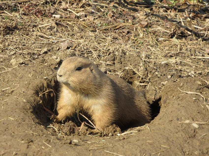 Facts About Black Tailed Prairie Dogs