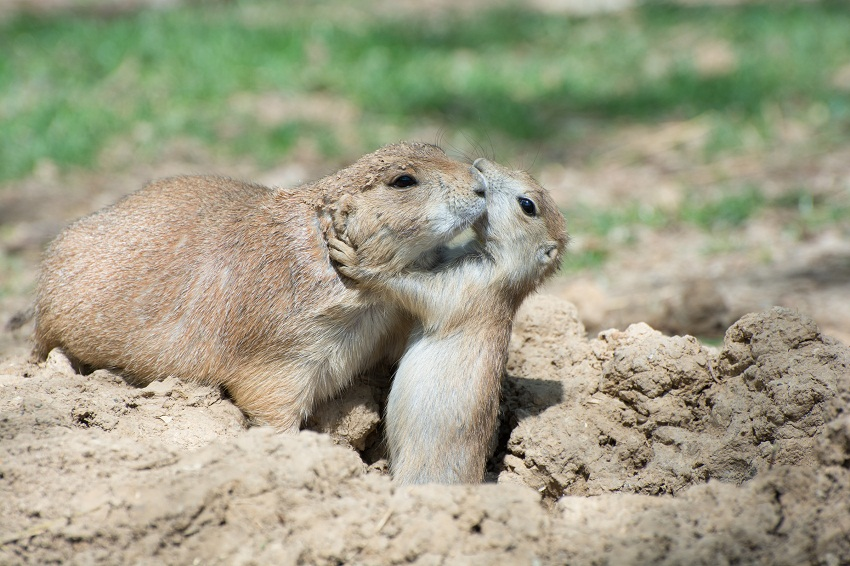 Black-tailed Prairie Dog Facts, Habitat, Diet, Life Cycle ...