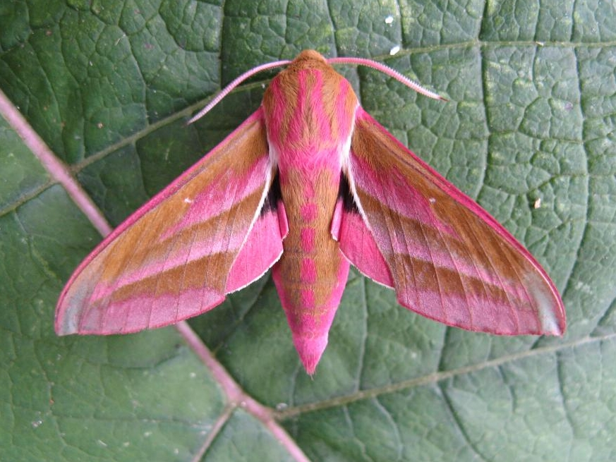 Elephant Hawk Moth Facts Habitat Diet Life Cycle Baby