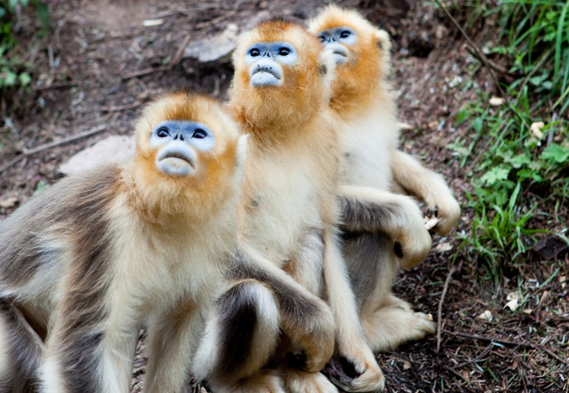 golden snub nosed monkey essay Golden snub-nosed monkeys have thick fur and they live in china a golden snub-nosed monkey is born in freezing temperatures at the top of chinese golden monkey: to tattoo for brigid.