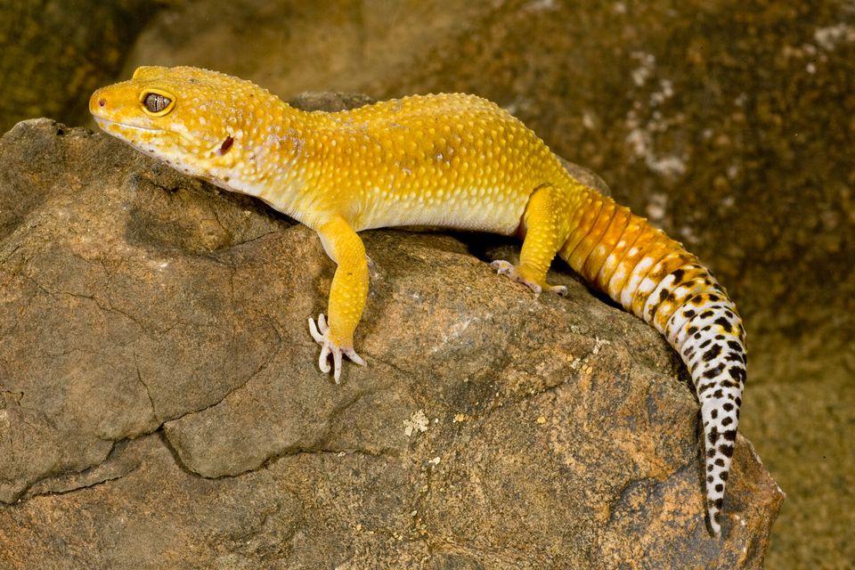 Care of Pet Golden Geckos