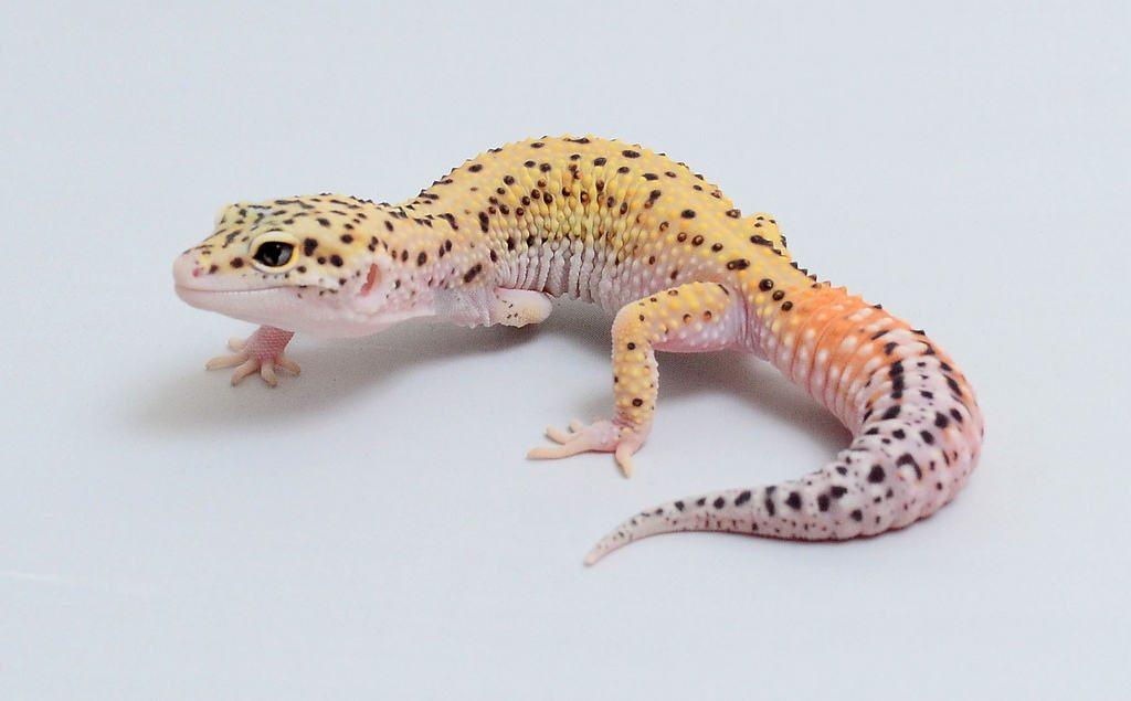 Agree, Pics of adult leopard geckos amusing message