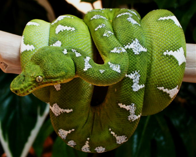 Emerald Tree Boa Facts Habitat Diet Life Cycle Baby Pictures