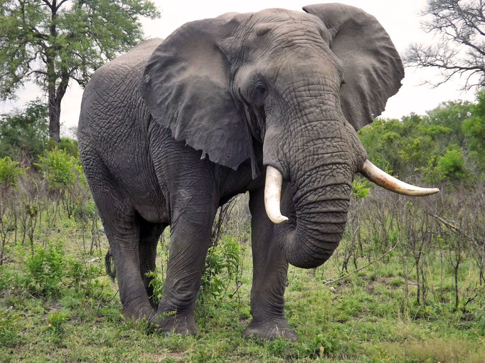African Forest Elephant Facts, Habitat, Diet, Pictures