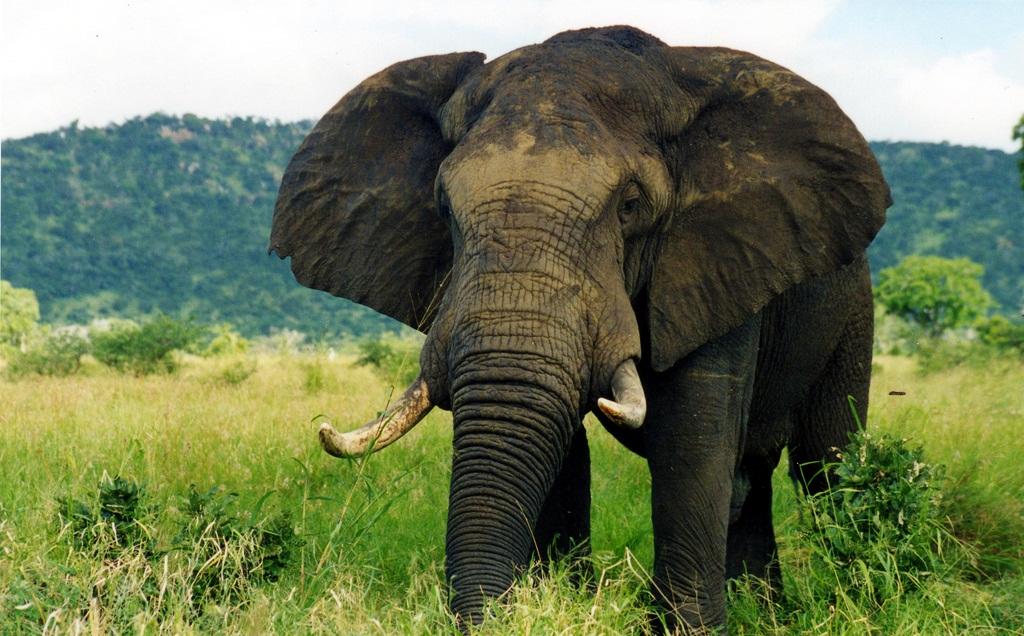 African bush elephant facts habitat diet life cycle baby pictures - Image elephant ...