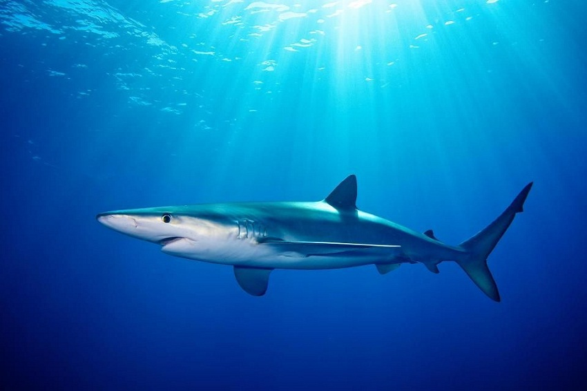 blue shark facts habitat diet life cycle baby pictures
