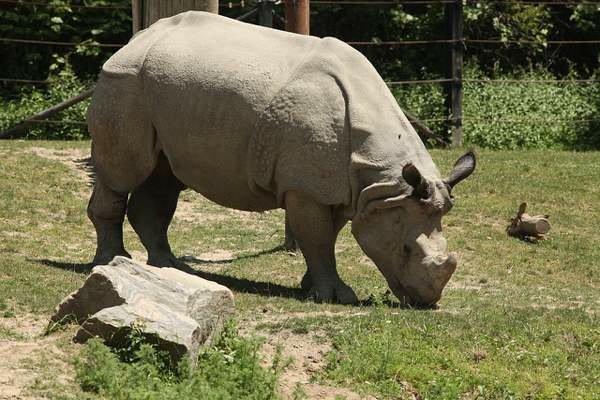 Javan Rhino Facts Range Habitat Diet Population Pictures
