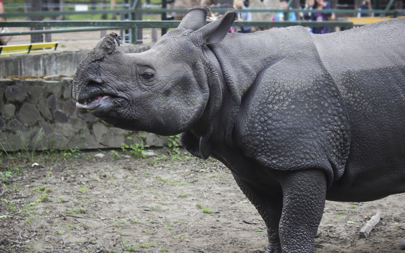 javan rhino facts range habitat diet population pictures - 800×500
