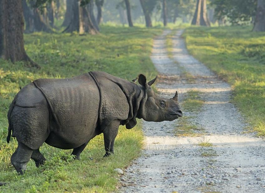 Javan Rhino Facts, Range, Habitat, Diet, Population, Pictures