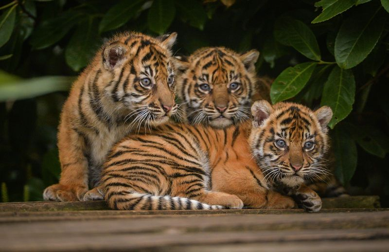 Sumatran Tiger Facts Range Habitat Diet Lifespan Images