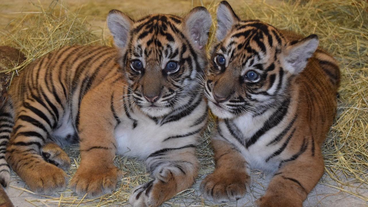 Sumatran Tiger ...