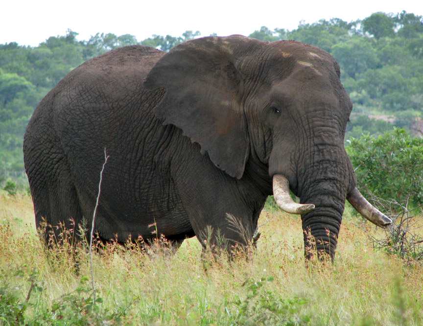 elephant african bush habitat facts baby diet cycle