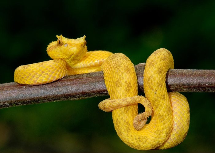 Eyelash Viper Facts Habitat Diet Life Cycle Baby Pictures