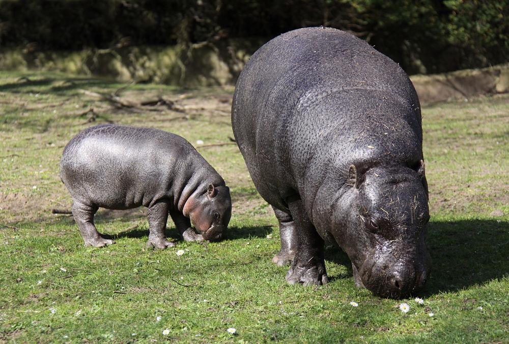 Hippo Facts For Kids | Hippopotamus Habitat | Hippopotamus Diet