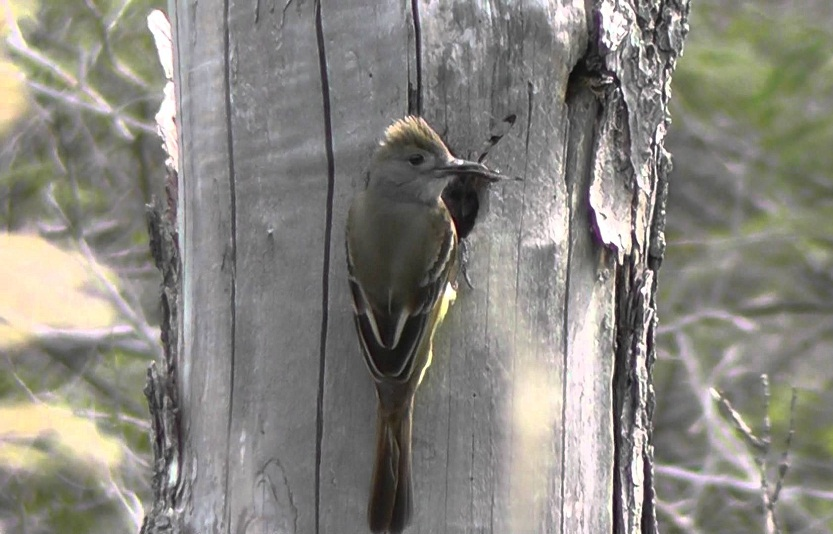 Great Crested Flycatcher Facts Habitat Diet Life Cycle Baby Pictures