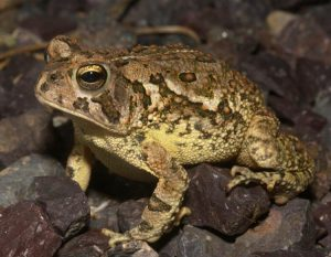 Fowler S Toad Facts Habitat Diet Life Cycle Baby Pictures