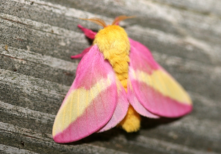 Rosy Maple Moth Facts, Habitat, Diet, Life Cycle, Baby ... - photo#22