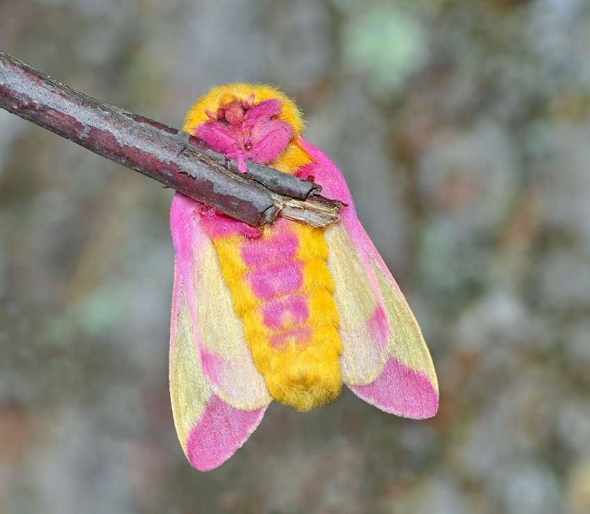 Rosy Maple Moth Facts, Habitat, Diet, Life Cycle, Baby ... - photo#1