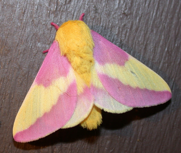 Rosy Maple Moth Facts, Habitat, Diet, Life Cycle, Baby ... - photo#7