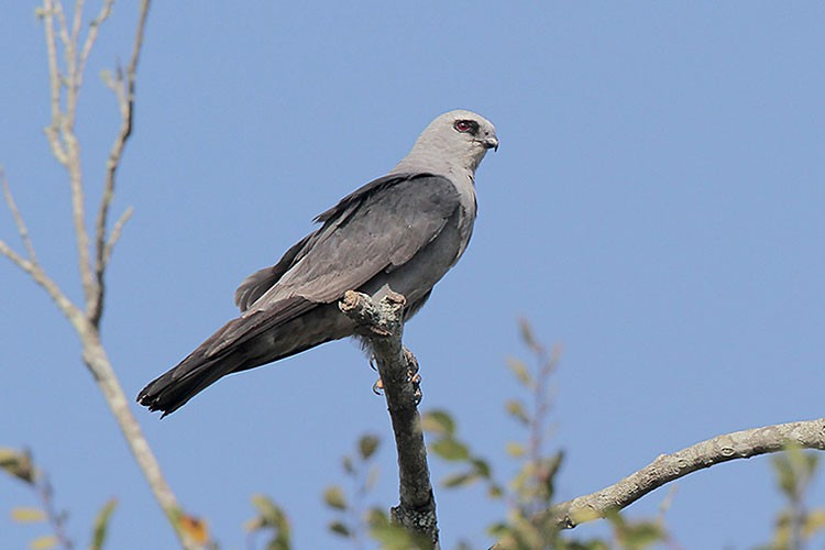 Mississippi Kite Overview, All About Birds, Cornell Lab of ...