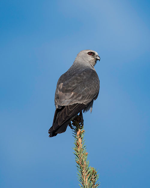 Mississippi Kite Facts Habitat Diet Life Cycle Baby Pictures