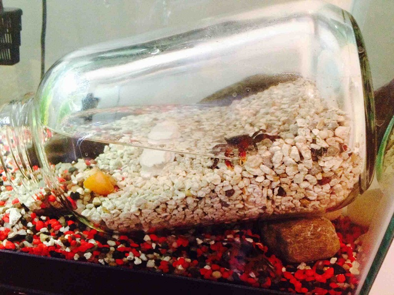 Red Claw Crab Facts Habitat T
