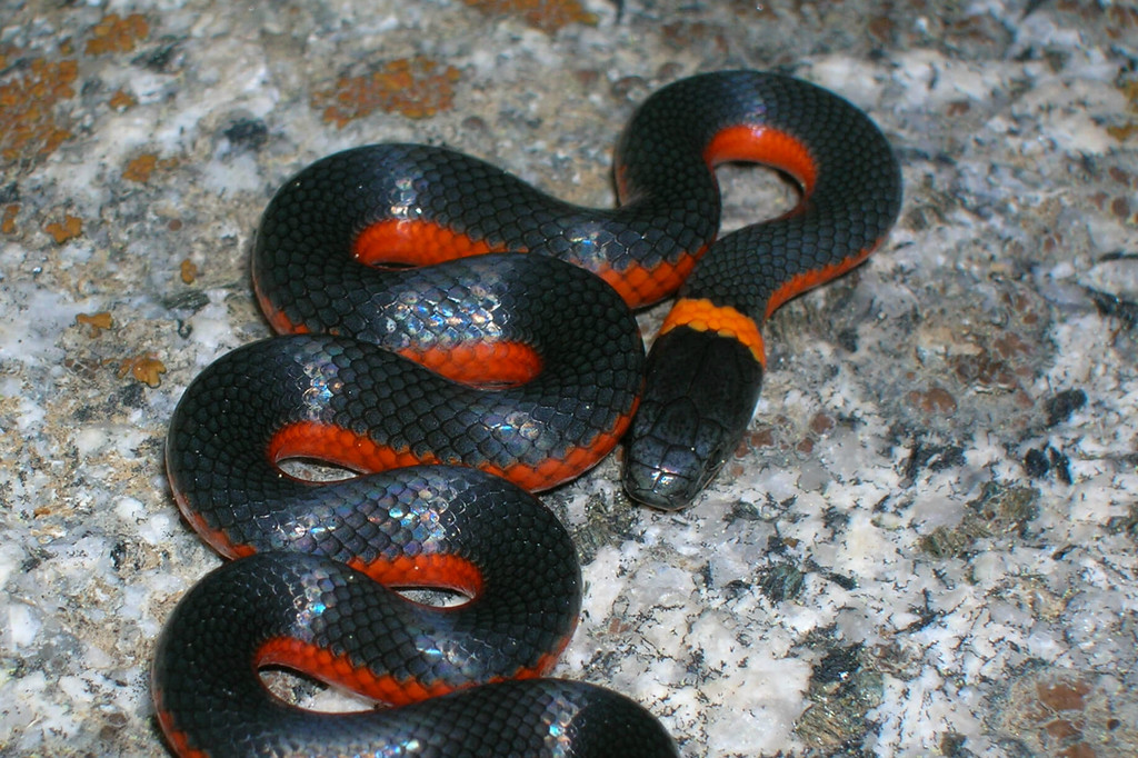 Ringneck Snake Facts Habitat Diet Life Cycle Baby