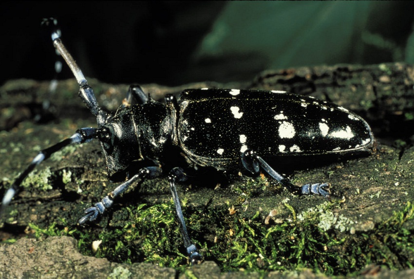 Asian Long Horned Beetle Facts Habitat Diet Life Cycle