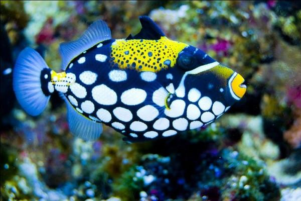 clown triggerfish facts habitat diet life cycle baby pictures