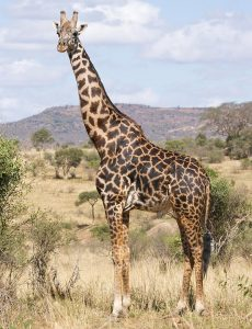 Masai Giraffe Facts, Habitat, Diet, Life Cycle, Baby, Pictures 1