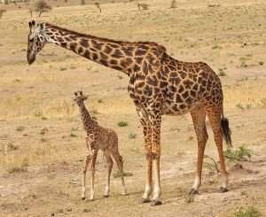 Masai Giraffe Facts, Habitat, Diet, Life Cycle, Baby, Pictures 7