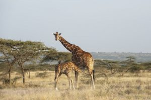 Masai Giraffe Facts, Habitat, Diet, Life Cycle, Baby, Pictures 9