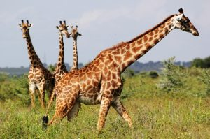 Masai Giraffe Facts, Habitat, Diet, Life Cycle, Baby, Pictures 3
