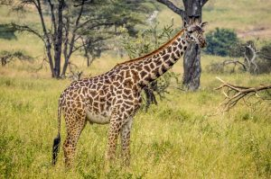 Masai Giraffe Facts, Habitat, Diet, Life Cycle, Baby, Pictures 5
