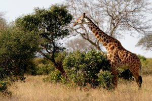 Masai Giraffe Facts, Habitat, Diet, Life Cycle, Baby, Pictures 11