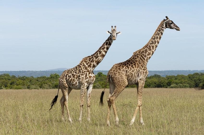 Giraffe M Masai Giraffe F...