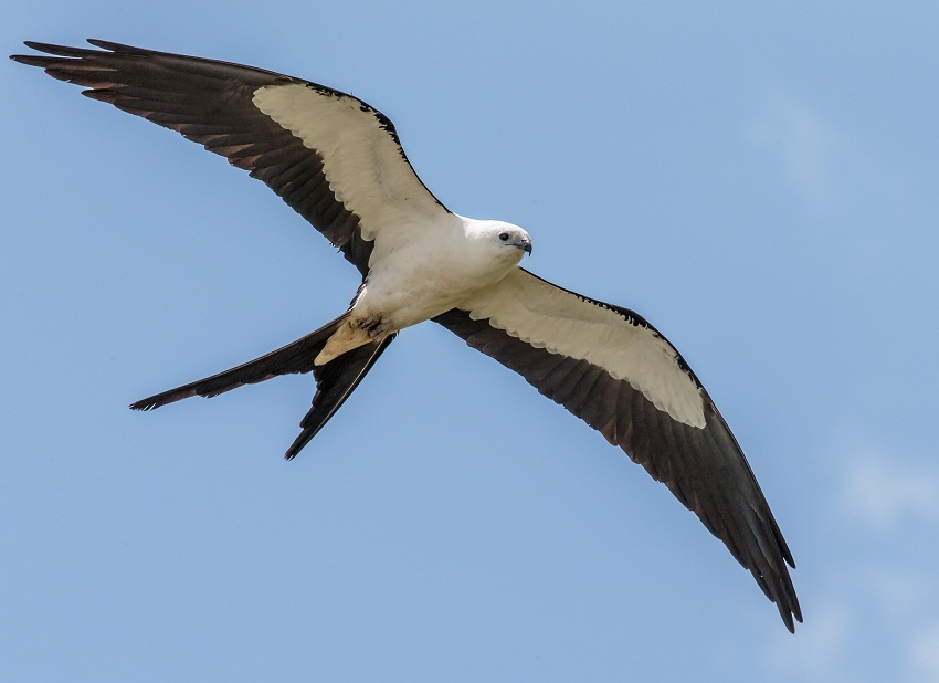 Swallow Tailed Kite Facts Habitat Diet Life Cycle Pictures
