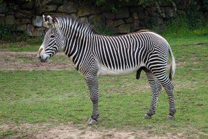 Grevy's Zebra Facts, Habitat, Diet, Life Cycle, Baby, Pictures