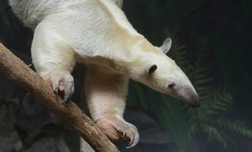 Southern Tamandua Facts Habitat Diet Life Cycle Baby