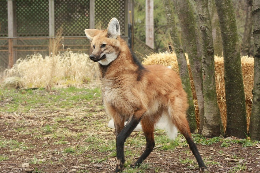 Maned Wolf Facts Habitat Diet Life Cycle Baby Pictures