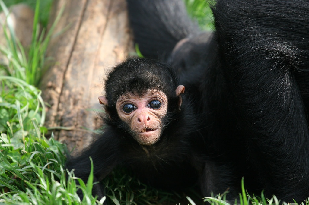 Black Spider Monkey Facts, Habitat, Diet, Life Cycle, Baby -9794