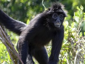 Black Spider Monkey Facts Habitat Diet Life Cycle Baby