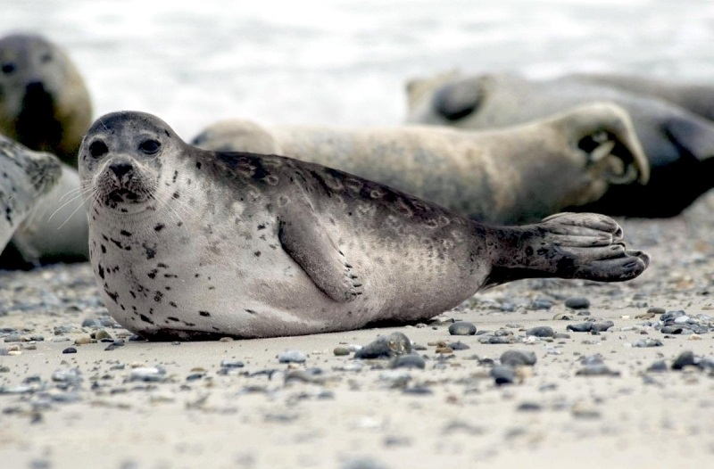 Ringed Seal Facts Habitat Diet Life Cycle Baby Pictures